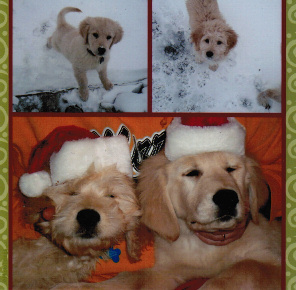 golden and goldendoodle,
