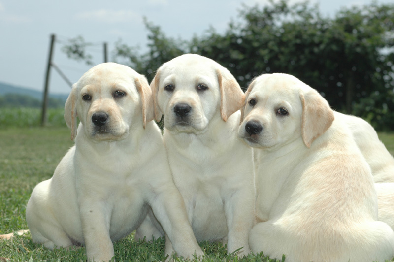 YellowLabs